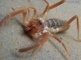 ۳٫ عنکبوت شتری غول پیکر