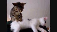 ماساژ گربه