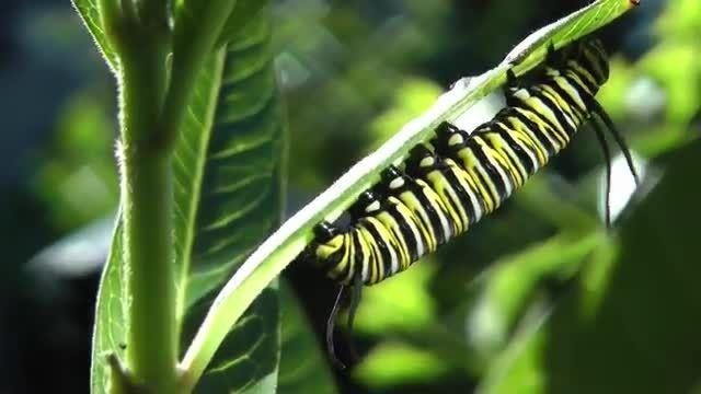 تولد شاه پروانه از پیله کرم کاترپیلار