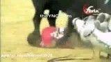 حمله گاو به زن گاو باز
