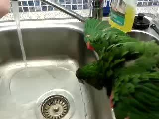 آبتنی و حمام طوطی ماکائو