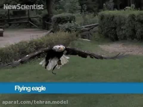 پرواز عجیب عقاب صحنه آهسته