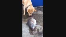 تلاش سگ برای نجات ماهی!