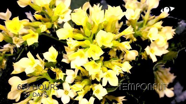 دانلود تایم لِپس (Timelapse) - شکوفه کردن گل کالانچو