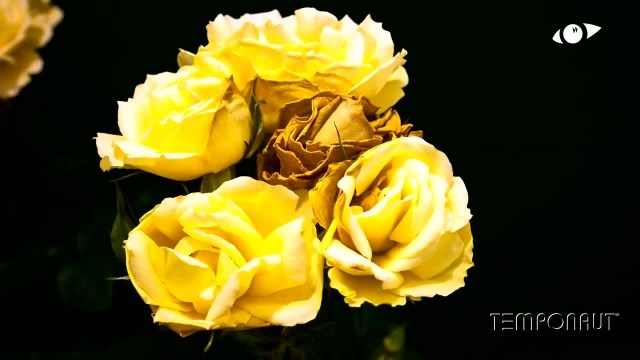 دانلود تایم لِپس (Timelapse) - شکوفایی گل رُز زرد