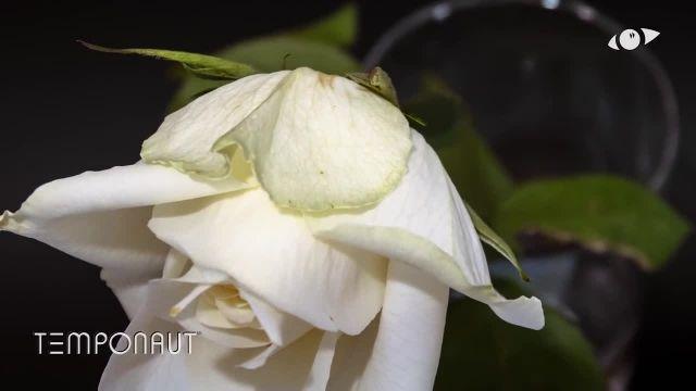 دانلود تایم لِپس (Timelapse) - گل رز سفید