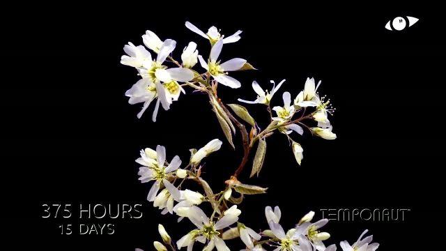 دانلود تایم لِپس (Timelapse) - گل سفید زیبا