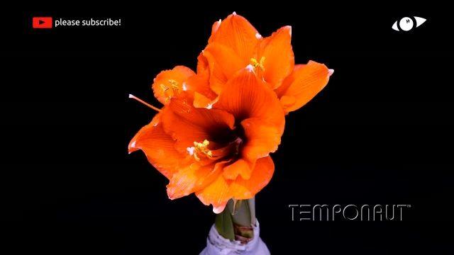 دانلود تایم لِپس (Timelapse) - شکوفه کردن گل نرگس