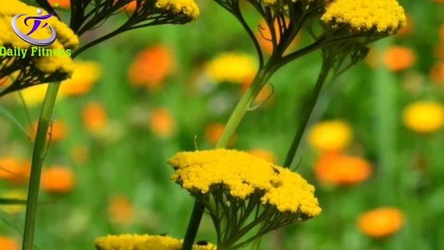 فواید جالب گیاه بومادران مخصوصا برای بانوان را بدانید!