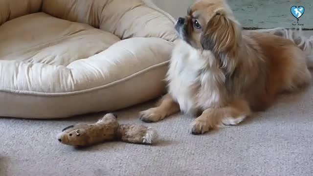 انواع سگ پاکوتاه را بشناسید ! - خصوصیات سگ های بانمک و مامانی