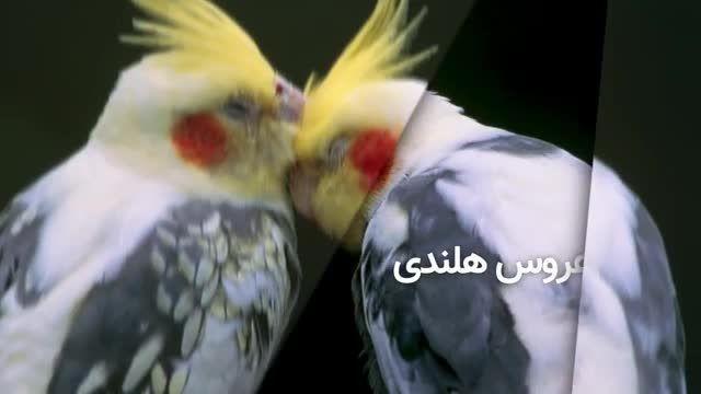 معرفی 5 طوطی سخنگو با قیمت ! - سخنگوترین طوطی ها