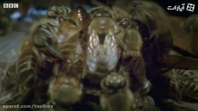 ویدیو خفه کردن زنبور غول پیکر توسط زنبور های عسل !