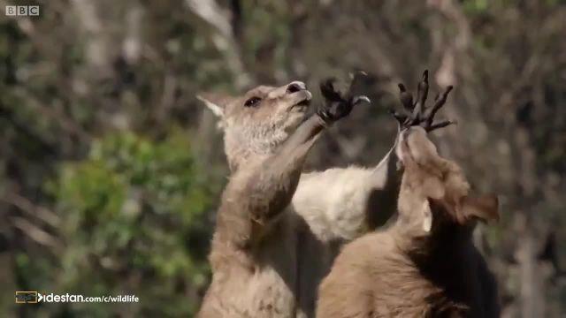 کلیپ جالب و دعوا کردن کانگورو ها در حیات وحش