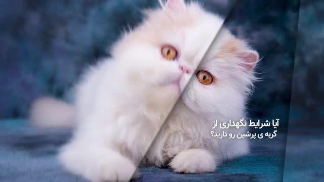 گربه پرشین - همه چیز دربارهی گربههای اشرافی و پرشین کت!