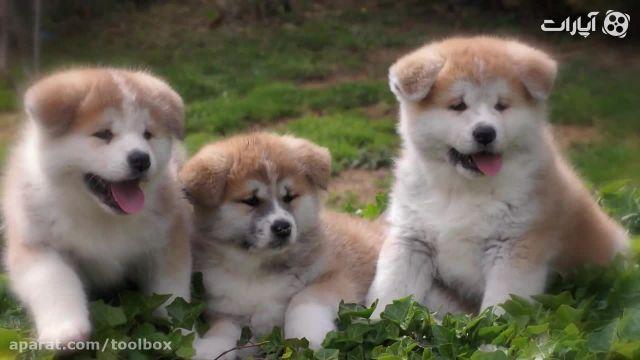 بهترین نژاد سگ چیست؟ - مقایسه نژاد آکیتا و هاسکی