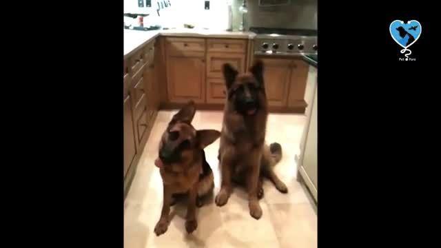 همه چیز درباره سگ ژرمن شپرد - سگ ژرمن شپرد رو چقدر میشناسی؟