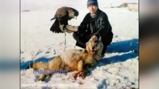 کلیپ شکار کردن گرگ توسط عقاب بسیار هیجانانگیز !