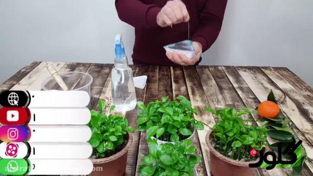 فیلم آموزش روش کاشت سبزه نارنج برای عید - چگونه سبزه نارنج بکاریم؟