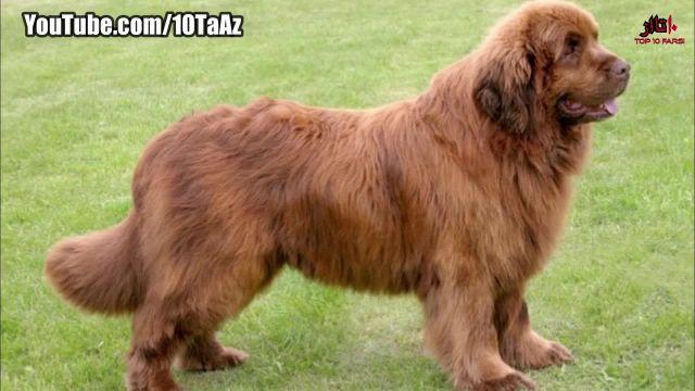 معرفی مهربان ترین نژادهای سگ در دنیا
