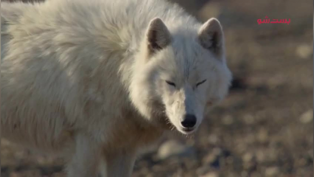 کلیپ مستند شکار توسط گرگ قطبی بسیار هیجان انگیز !