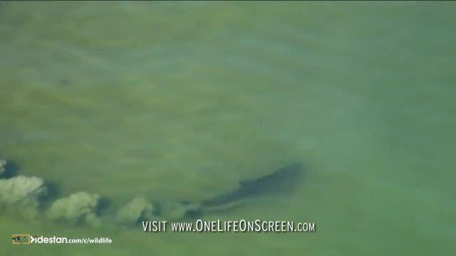 کلیپ جالب شکار ماهی توسط دلفین ها بسیار حیرت انگیز !