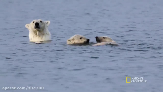 کلیپ بسیار زیبا از بازی و شنا کردن خرس های قطبی !