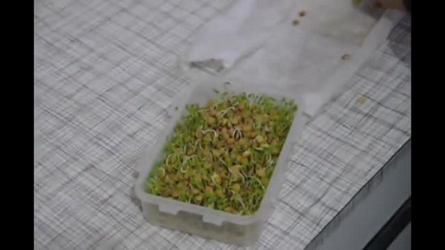فیلم آموزش درست کردن سبزه عدس بسیار ساده در منزل - طرز تهیه سبزه عدس