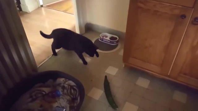 کلیپ بامزه و خنده دار ترسیدن گربه ها از خیار !