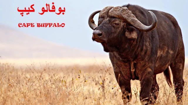 ویدیو معرفی 10 تا از خطرناکترین حیوانات دنیا !