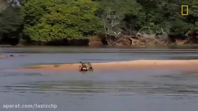 کلیپ حیرتانگیز شکار تمساح توسط یوزپلنگ بسیار حرفه ای !