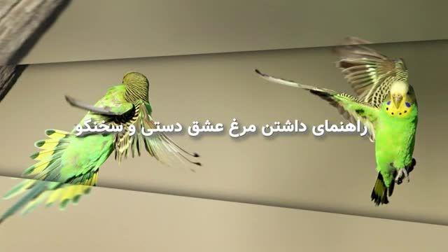 اهلی کردن حیوانات - آموزش دستی کردن مرغ عشق و نشستن روی انگشت