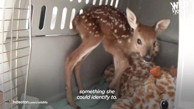 کلیپ جالب نجات دادن بچه گوزن زیبا توسط انسان ها