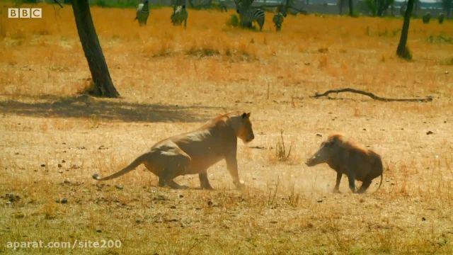کلیپ جالب و دیدنی از تقابل شیرها و گراز وحشی در حیات وحش !