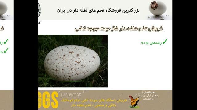 تولید جوجه لذت بخش با تخم های نطفه دار غاز توسط juje.ir