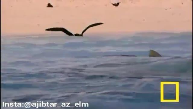 لحظه شکار پرنده توسط کوسه ببری