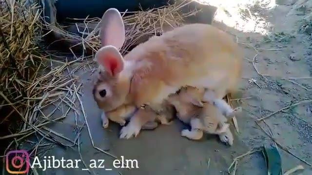 تلاش بچه خرگوش ها برای شیر نوشیدن برای بقا