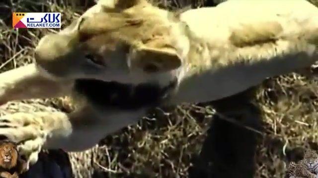 میمونی که شکار پلنگ شد و خوراک شیرها!!