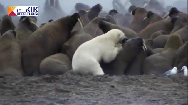 عاقبت خرس قطبی وقتی  قصد شکار یکی از گرازهای دریایی گله را می کند!!