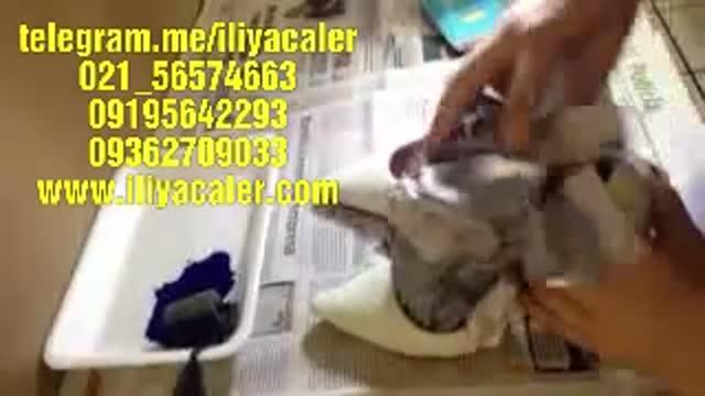 مخمل پاش و اکلیل پاش روی کفش09384086735ایلیاکالر