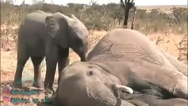 نجات بچه فیل یتیم توسط  یتیمخانه ملکه فیل