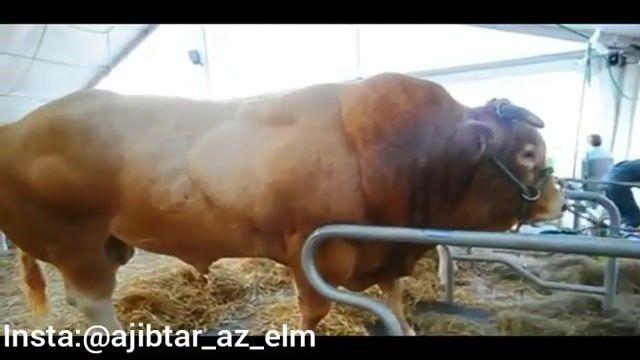 یکی از عضلانی ترین گاو های دنیا با وزن 1500 کیلو گرم