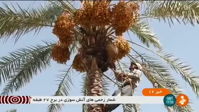 Iran Date harvest, Minab county برداشت خرما شهرستان میناب ایران