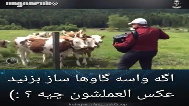 عکس العمل گاوها هنگام شنیدن موسیقی