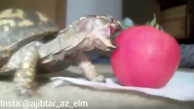 تلاش لاک پشت کوچک برای خوردن گوجه فرنگی