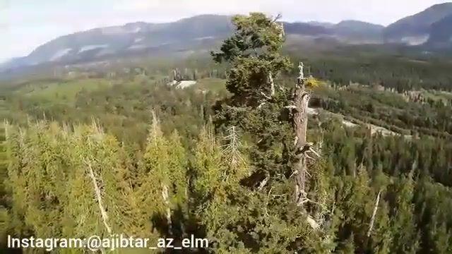 یکی از بلندترین درختان جهان در جنگل های کانادا