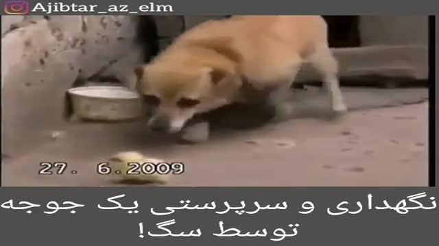 سرپرستی و نگهداری از جوجه توسط یک سگ