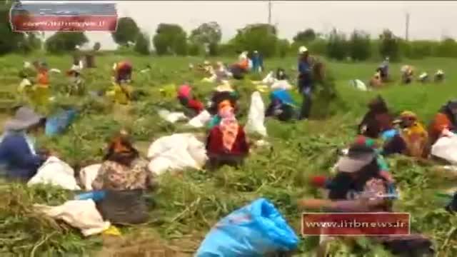Iran Harvest Peas & products, Golestan province برداشت نخود فرنگی استان گلستان ایران