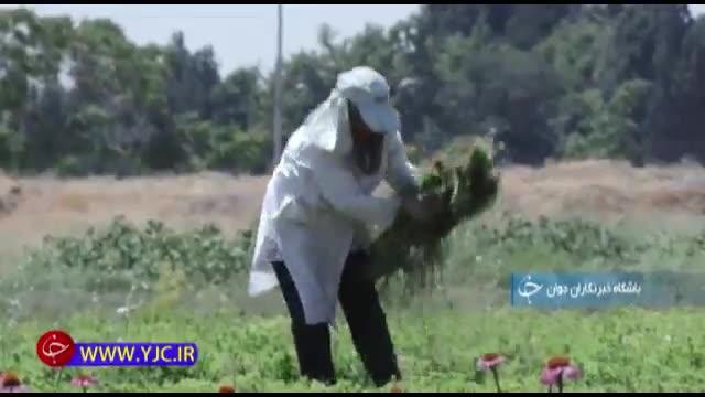 تولید گیاهان دارویی از زمین بی حاصل توسط سه بانوی کارآفرین