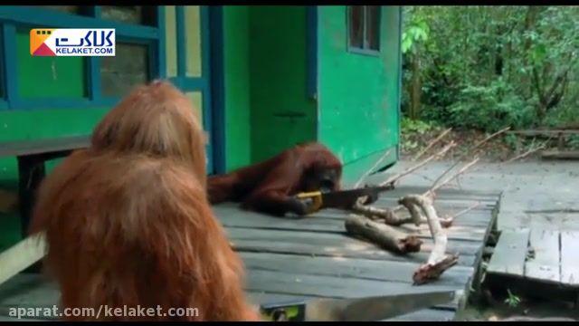 اورانگوتان نجار !! مهارت اورانگوتان را در اره کردن چوب ببینید