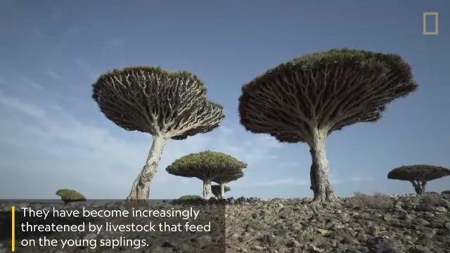 جزیره سقطرا یمن بادرختان اعجاب انگیزش که از جمله آن درخت خون سیاوشان است.